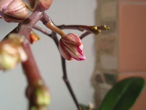 how to grow more buds orchid