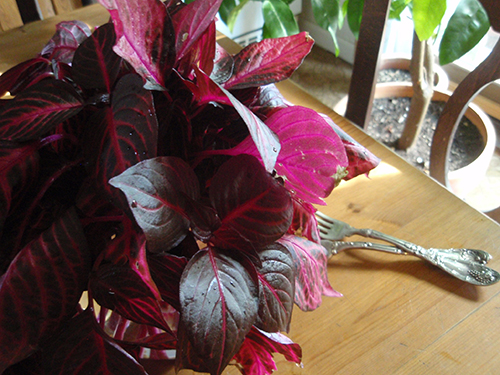 coleus cuttings