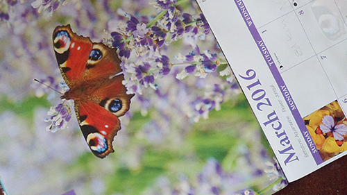 peacock butterfly calander
